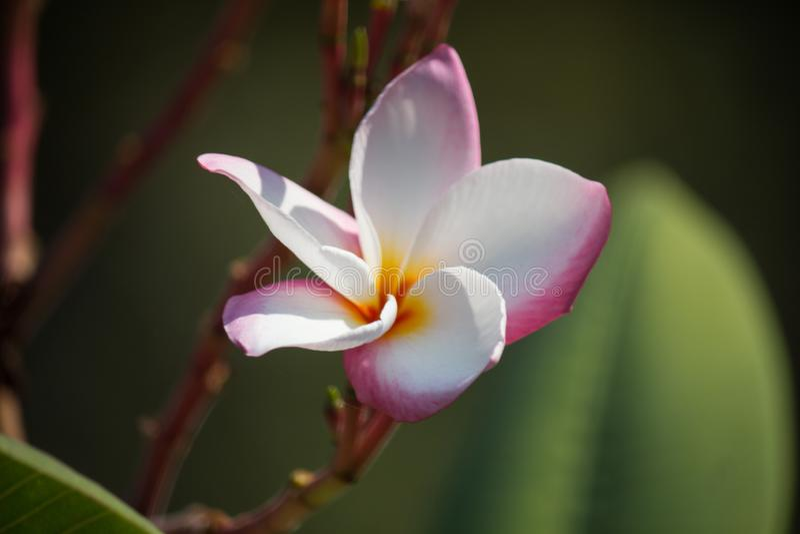 Rosa blommor för Frangipani i buskar, Thailand fotografering för bildbyråer