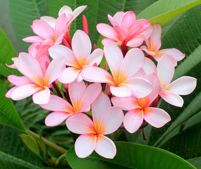 Rosa blommor för frangipani (plumeria) arkivfoto