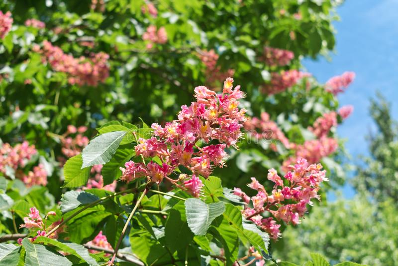 Rosa blommor för hästkastanj på en bakgrund av gröna sidor royaltyfria bilder