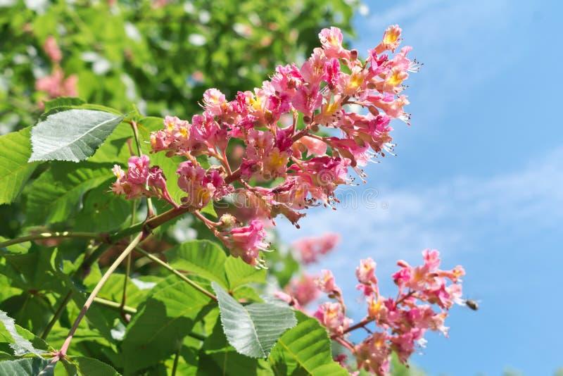 Rosa blommor för hästkastanj på en bakgrund av gröna sidor royaltyfri fotografi