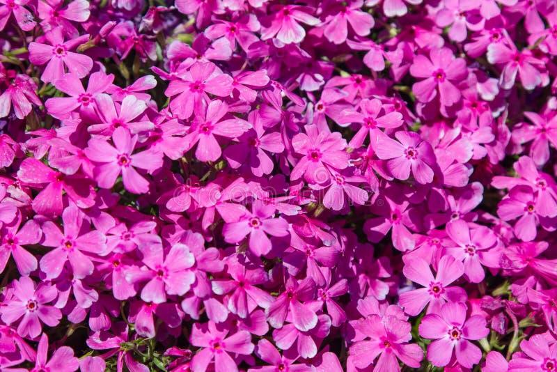 Rosa blommor för mossaflox royaltyfria foton