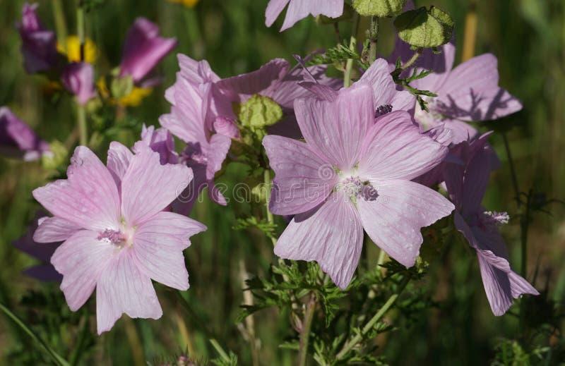 Rosa blommor för myskmalva fotografering för bildbyråer