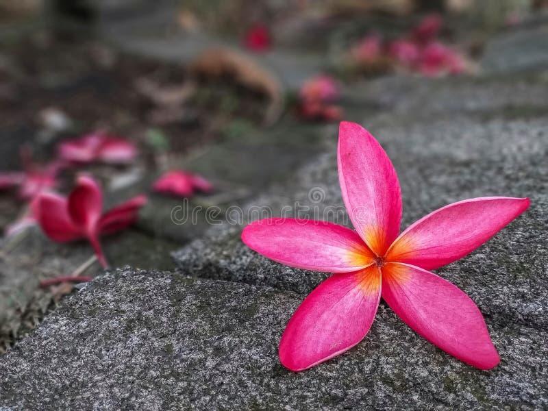Rosa blommor för Plumeria som faller på golvet arkivfoto
