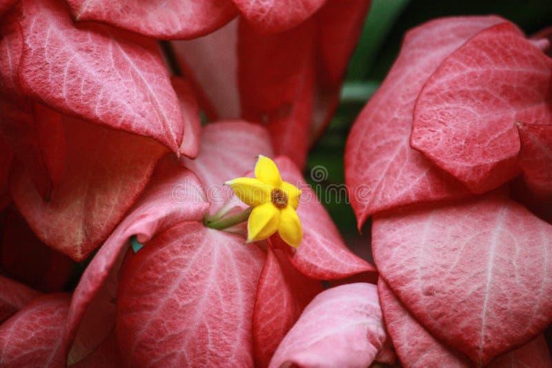Rosa blommor klipps med gula stamens arkivfoto