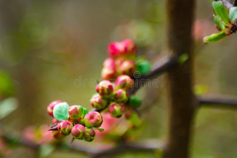 Rosa blommor och hjärta i vårträdgård Vår som blommar den körsbärsröda blommafilialen på suddig naturlig abstrakt bakgrund arkivbild