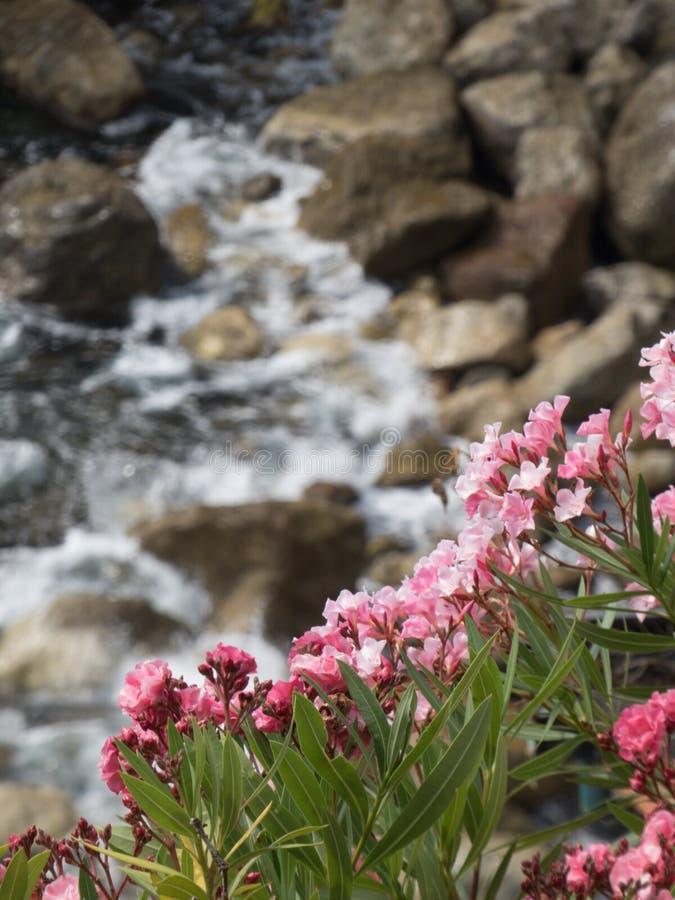 Rosa blommor på vaggar: fokus på blommorna fotografering för bildbyråer