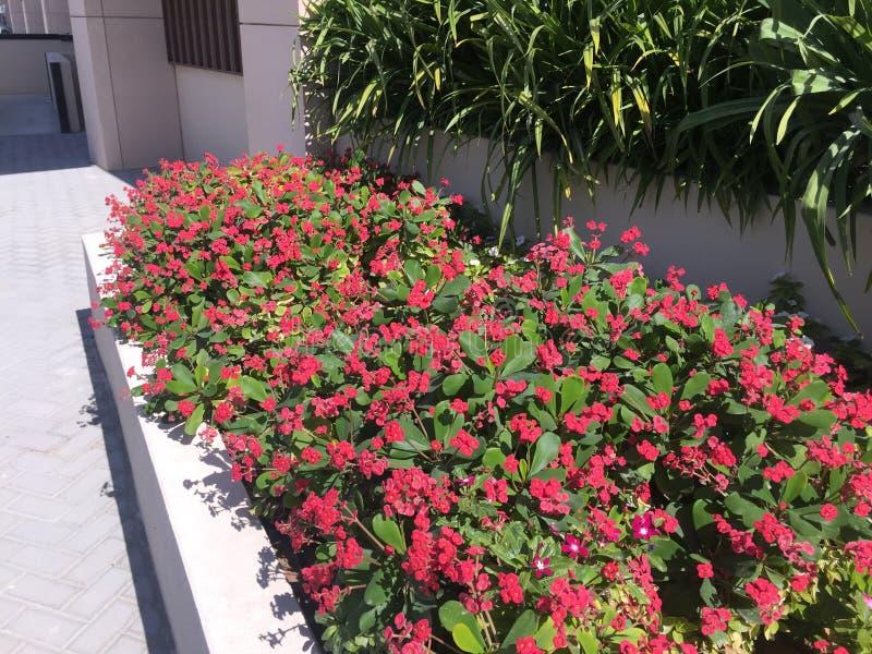 Rosa blommor som blommar nära trottoar Röd gångbana för blommaträdgård royaltyfri bild