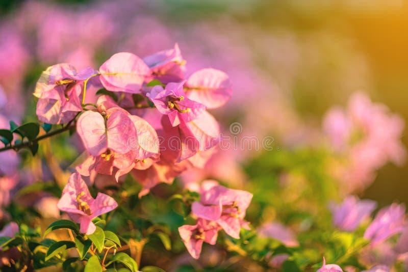 Rosa blommor som skiner på solnedgången som är bakbelyst i, parkerar royaltyfri fotografi