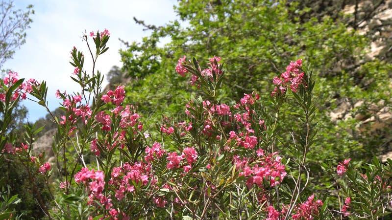 Rosa blommor växer på en filial av ett mandelträd på en solnedgångbakgrund, lantlig bakgrund, naturlig bakgrund Rosa färger royaltyfri bild