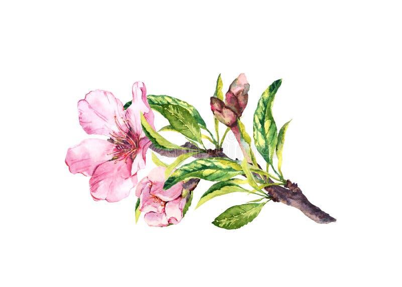 Rosa blommor, vårblomning Blomma filialen av äpplet, körsbärsrött träd Den blom- vattenfärgen fattar royaltyfri illustrationer