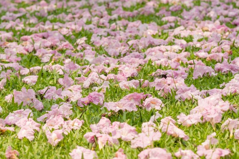 Rosa blomning för blommaTabebuia rosea royaltyfri fotografi