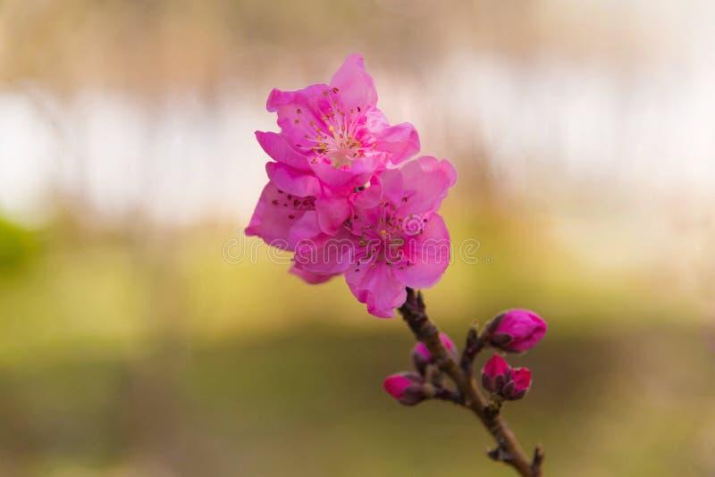 Rosa blomning- och blommaknopp av persikaträdet i vår arkivfoton
