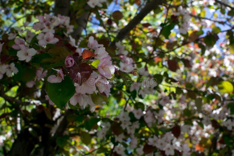 Rosa blomningApple träd och gröna blad fotografering för bildbyråer