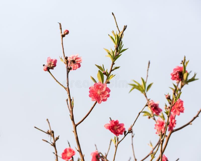 Download Rosa blomningar fotografering för bildbyråer. Bild av friskhet - 76702857