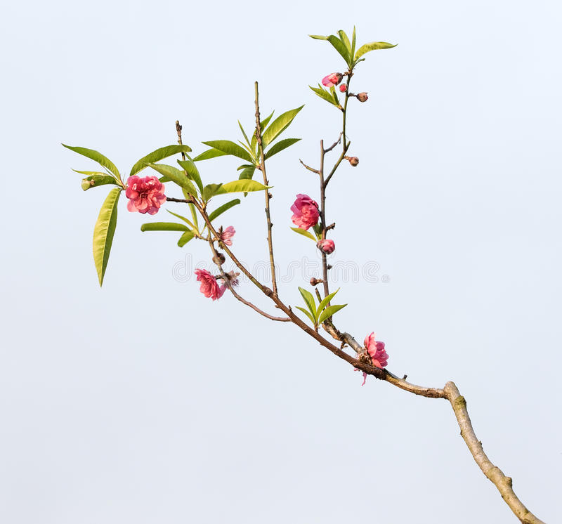 Download Rosa blomningar arkivfoto. Bild av jordning, friskhet - 76702898