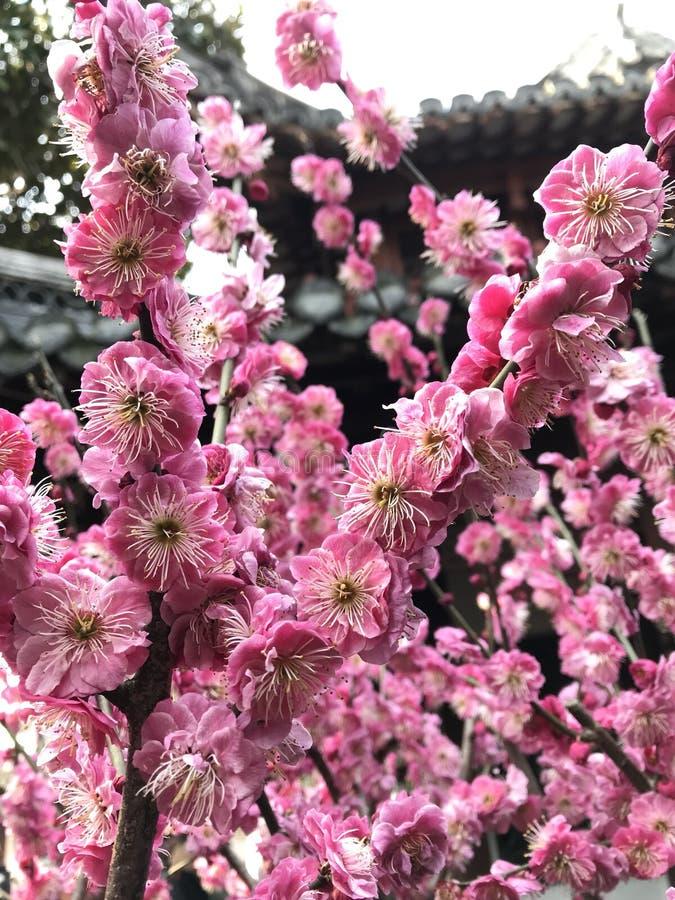 Rosa blomningblomma fotografering för bildbyråer