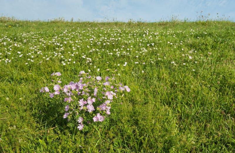 Rosa blomningmysk-malva växter på en invallning arkivfoto