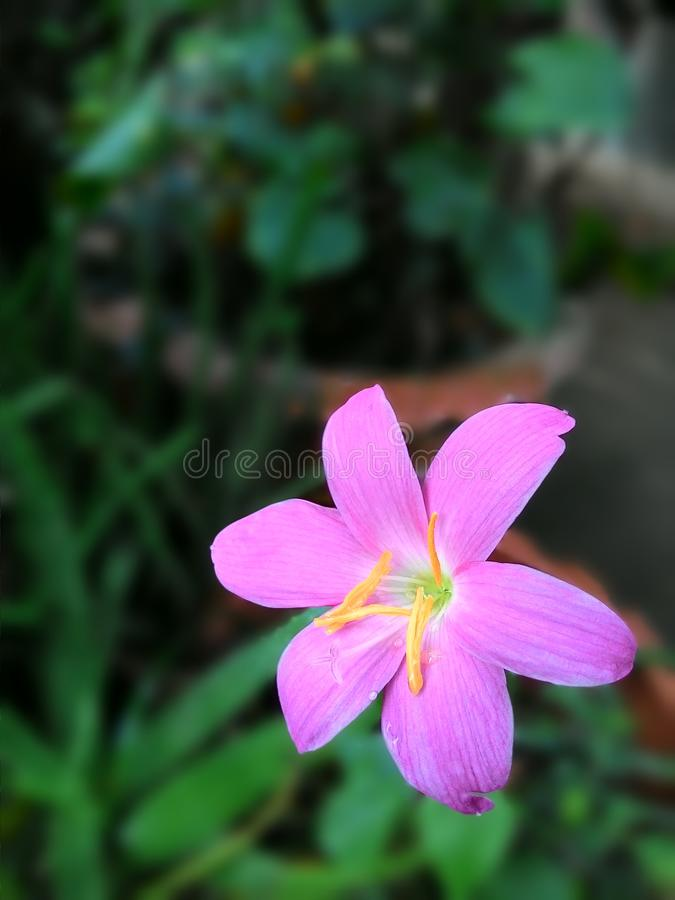 Rosa Blume lizenzfreie stockfotografie