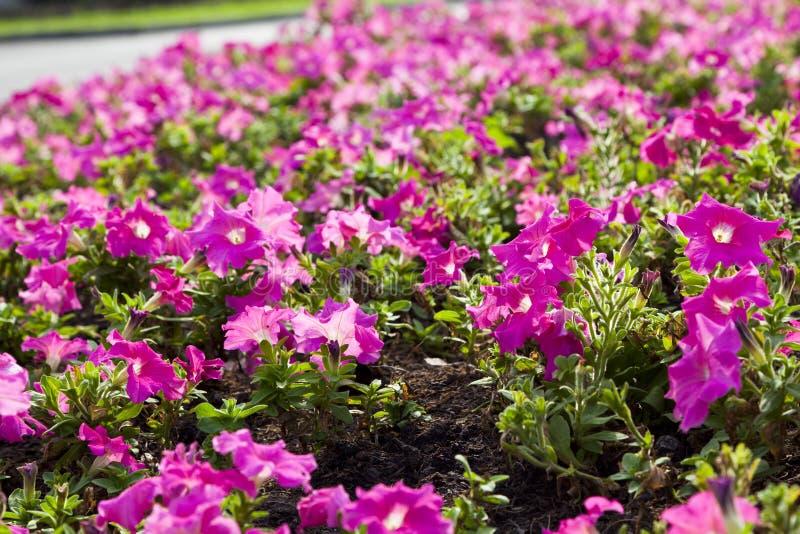 Download Rosa Blume stockfoto. Bild von blatt, schön, betrieb - 90225430