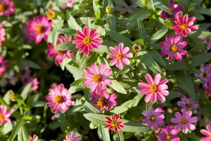 Download Rosa Blume stockfoto. Bild von schönheit, nahaufnahme - 90227552