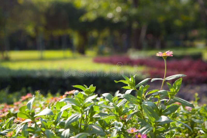 Download Rosa Blume stockbild. Bild von nahaufnahme, kopf, hell - 90227591