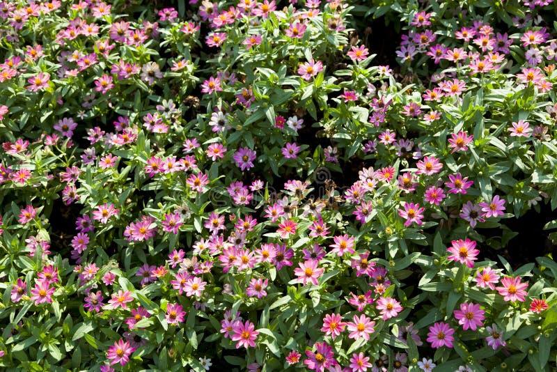 Download Rosa Blume stockfoto. Bild von nave, schönheit, botanisch - 90227838