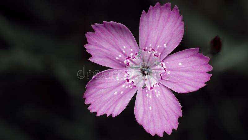Rosa Blume auf dunklem Hintergrund lizenzfreie stockfotografie