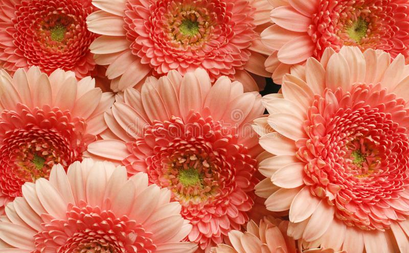 rosa Blume bossom Detail stockfoto