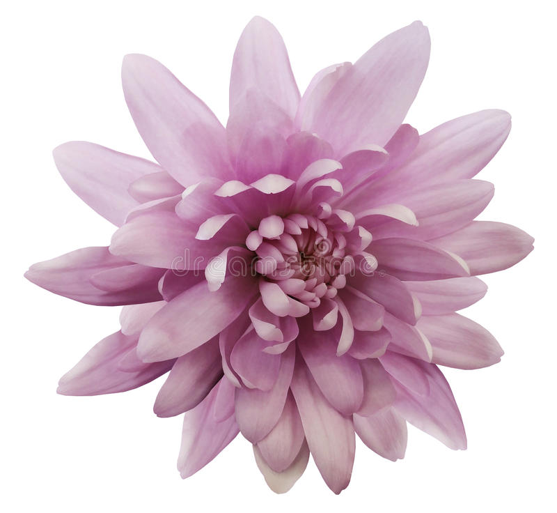 Rosa Blume Chrysantheme Rose Auf Dem Bokeh Hintergrund Weiß ...