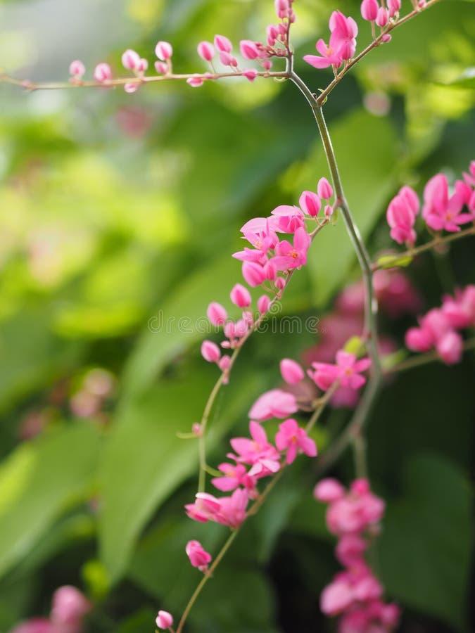Rosa Blume Coral Vine, mexikanische Kriechpflanze, Kette des Liebe Antigonon-leptopus Haken- und Arn-Namens schöner kleiner Blume lizenzfreie stockbilder