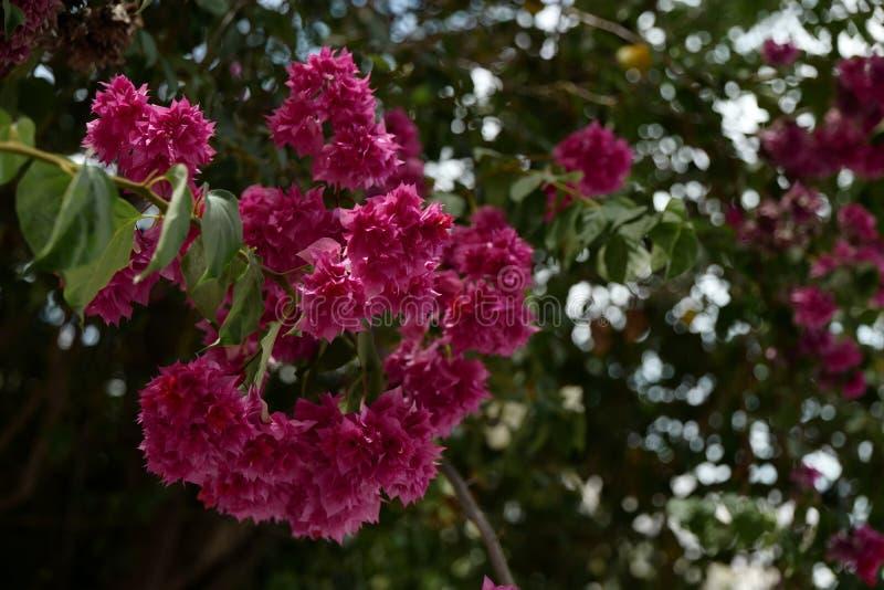 Rosa Blume der Blumenstrauß-Bouganvillasättigungs mit dunkelgrünem Blatt bokeh Hintergrund stockbilder