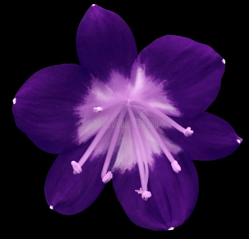 Rosa Blume Der Lilie, Lokalisiert Mit Beschneidungspfad, Auf Einem ...