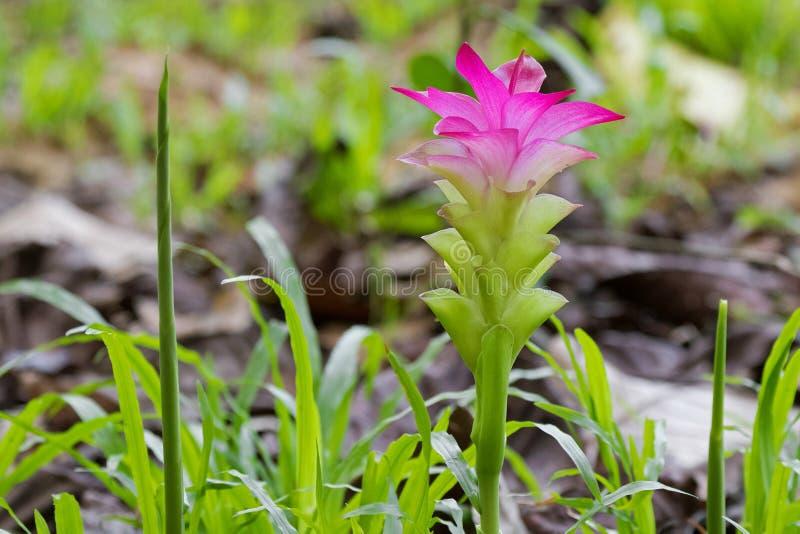 Rosa Blume der wilden Gelbwurz, Zingiberaceaefamilie in Thailand, lizenzfreie stockfotografie