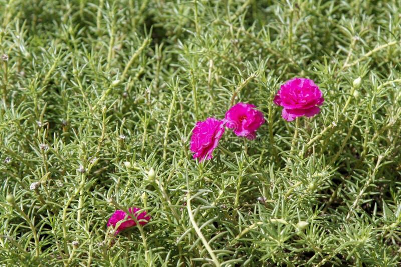 Rosa Blume des allgemeinen Purslane auf Garten für Naturhintergrund stockfotos