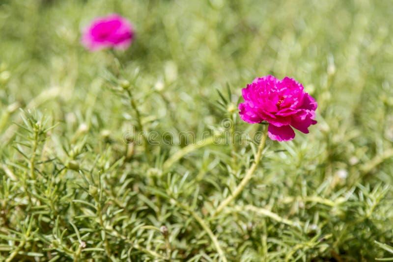 Rosa Blume des allgemeinen Purslane auf Garten für Naturhintergrund stockfoto