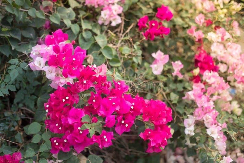 Rosa Blume des Bouganvillas lizenzfreie stockfotos
