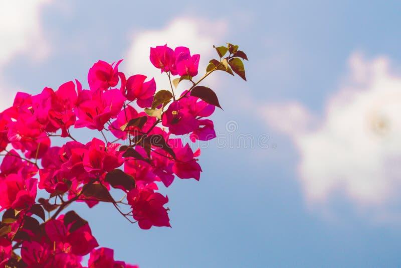 Rosa Blume des Bouganvillas Schöner Blumenfrühlingszusammenfassungshintergrund der Natur Niederlassungen der blühenden Aprikose M stockbilder
