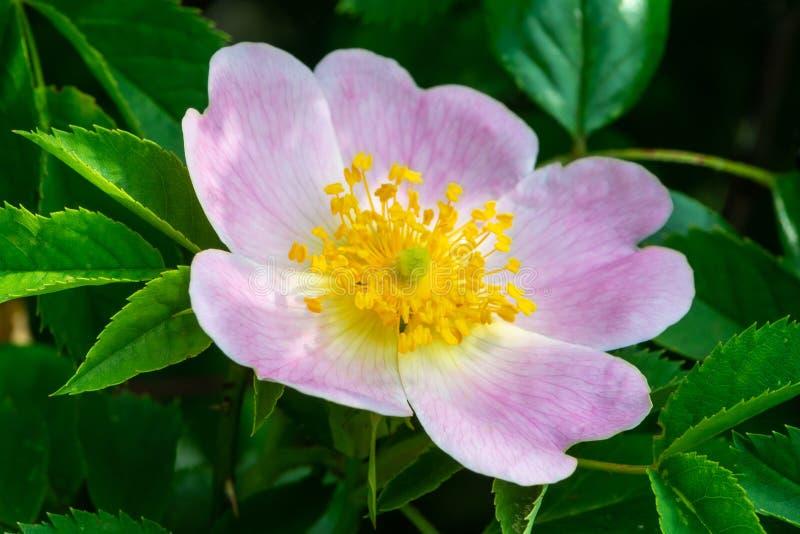 Rosa Blume des Hundes stieg lizenzfreies stockfoto