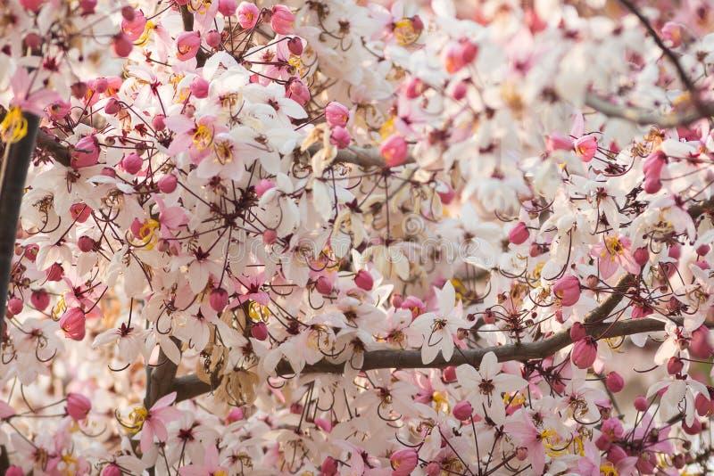 Rosa Blume des Wunsches des Baums, rosa Dusche, Kassie bakeriana craib stockbild