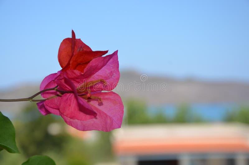 Rosa Blume, die eine griechische Insel übersieht lizenzfreie stockbilder