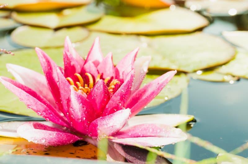 Rosa Blume einer Seerose Sch?ne Naturszene mit bl?hender rosa Blume einer Seerose im Sonnenaufflackern lizenzfreie stockfotos