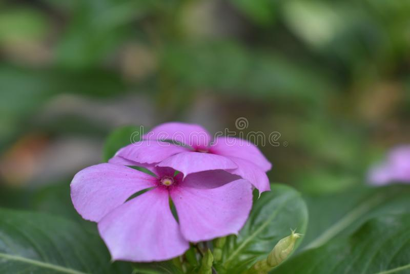 Rosa Blume im Garten lizenzfreie stockfotos