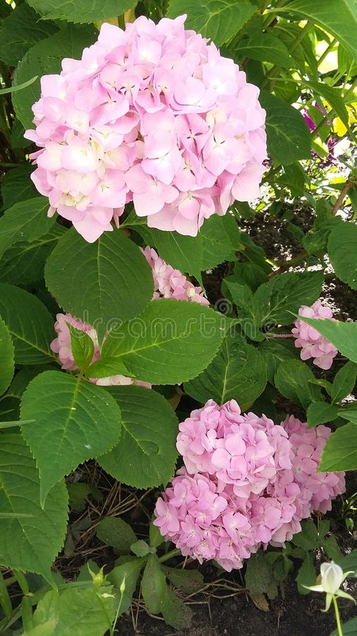 Rosa Blume im Garten lizenzfreies stockfoto