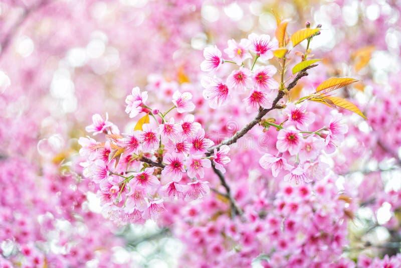 Rosa Blume Kirschblüte von Thailand lizenzfreie stockfotos