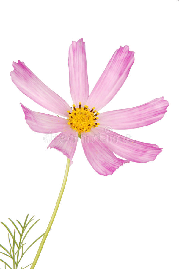 Rosa Blume kosmeya lizenzfreie stockbilder