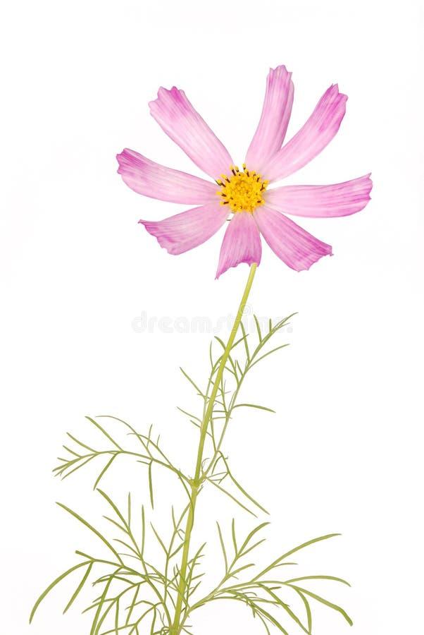 Rosa Blume kosmeya stockfotos