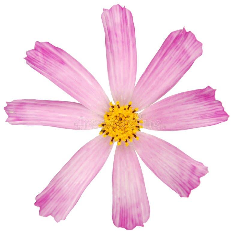 Rosa Blume kosmeya lizenzfreies stockfoto