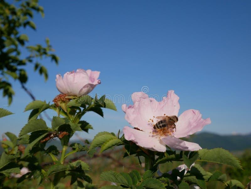 Rosa Blume mit Biene auf ihr Rosa wildes Rosafarbenes oder dogrose blüht mit Blättern auf Hintergrund des blauen Himmels lizenzfreies stockbild