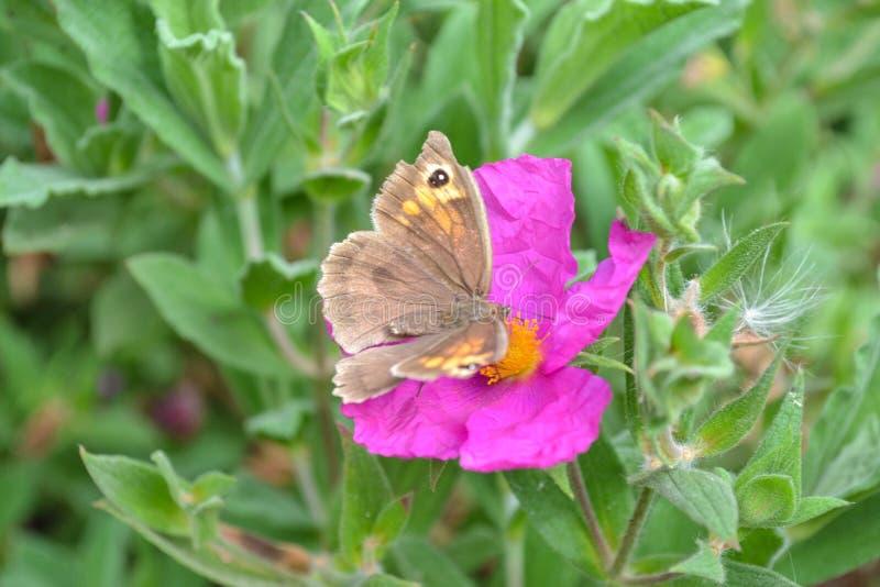 Rosa Blume mit braunem Schmetterling und grünem Laubhintergrund lizenzfreie stockbilder