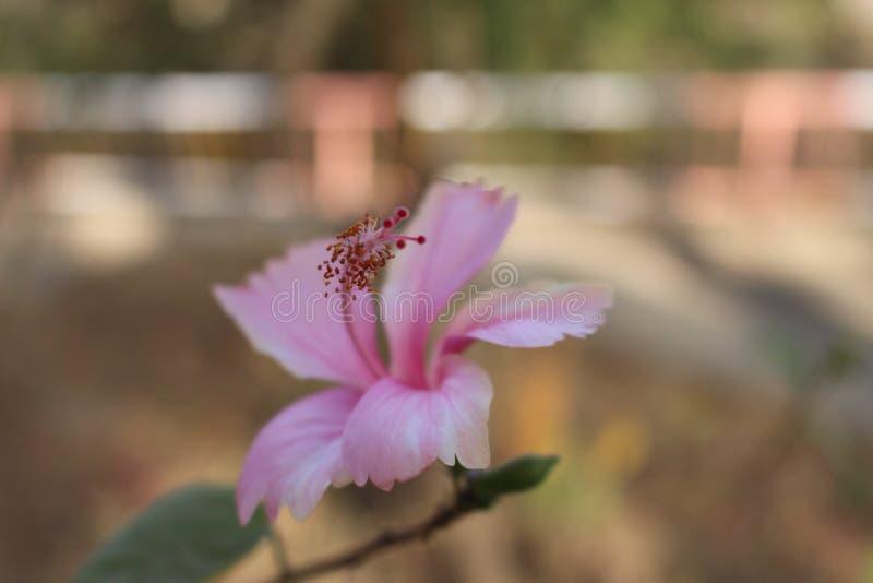 Rosa Blume mit dem Blütenstaub stockfoto